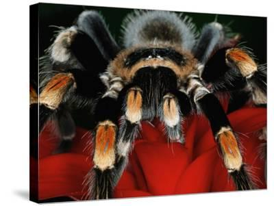 Mexican Red-Kneed Tarantula, Mexico-Adam Jones-Stretched Canvas Print