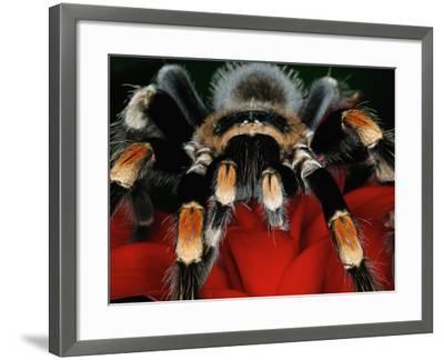 Mexican Red-Kneed Tarantula, Mexico-Adam Jones-Framed Photographic Print