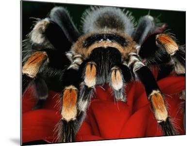 Mexican Red-Kneed Tarantula, Mexico-Adam Jones-Mounted Photographic Print