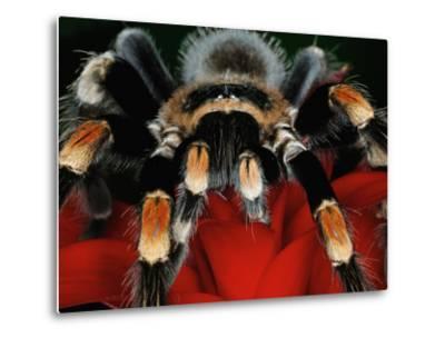 Mexican Red-Kneed Tarantula, Mexico-Adam Jones-Metal Print