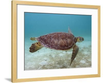 Green Turtle, Sian Ka'An Biosphere Reserve, Quintana Roo, Yucatan Peninsula, Mexico-Pete Oxford-Framed Photographic Print