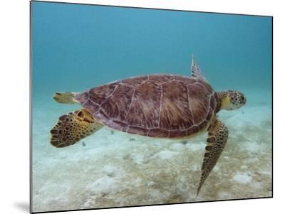 Green Turtle, Sian Ka'An Biosphere Reserve, Quintana Roo, Yucatan Peninsula, Mexico-Pete Oxford-Mounted Photographic Print