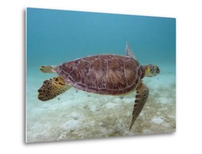 Green Turtle, Sian Ka'An Biosphere Reserve, Quintana Roo, Yucatan Peninsula, Mexico-Pete Oxford-Metal Print