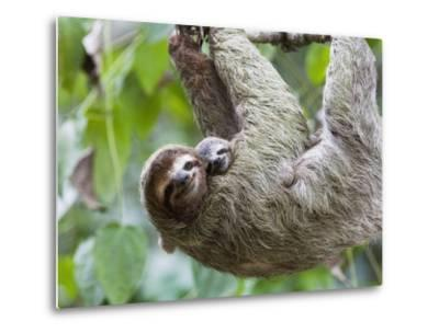 Brown-Throated Sloth and Her Baby Hanging from a Tree Branch in Corcovado National Park, Costa Rica-Jim Goldstein-Metal Print