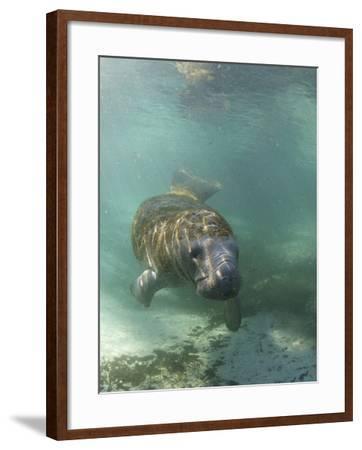 Florida Manatee, Crystal River, Florida, Usa-Rebecca Jackrel-Framed Photographic Print