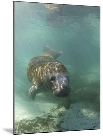 Florida Manatee, Crystal River, Florida, Usa-Rebecca Jackrel-Mounted Photographic Print