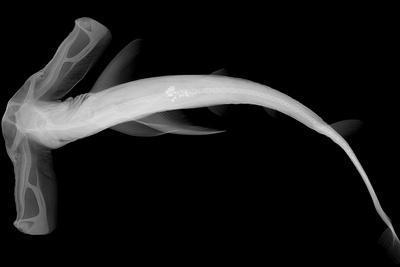 Winghead Shark-Sandra J^ Raredon-Stretched Canvas Print