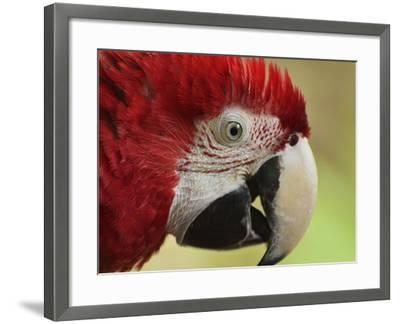 Portrait of Macaw, Lok Kawi Wildlife Park, Sabah, Borneo, Malaysia,Southeast Asia, Asia-Jochen Schlenker-Framed Photographic Print