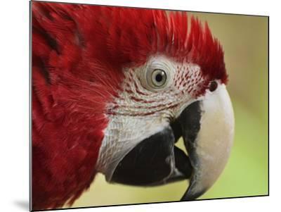 Portrait of Macaw, Lok Kawi Wildlife Park, Sabah, Borneo, Malaysia,Southeast Asia, Asia-Jochen Schlenker-Mounted Photographic Print