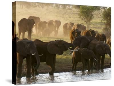 Elephants (Loxodonta Africana), Lualenyi Game Reserve, Kenya, East Africa, Africa-Sergio Pitamitz-Stretched Canvas Print