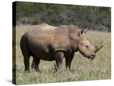 White Rhinoceros (Caratotherium Simum), Kariega Game Reserve, South Africa, Africa-Sergio Pitamitz-Stretched Canvas Print
