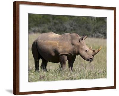 White Rhinoceros (Caratotherium Simum), Kariega Game Reserve, South Africa, Africa-Sergio Pitamitz-Framed Photographic Print