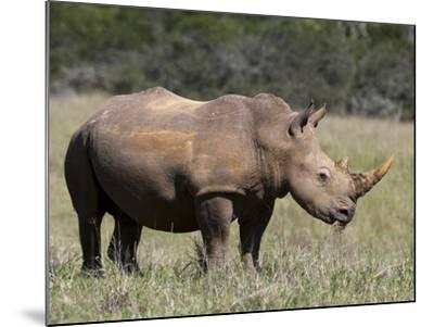 White Rhinoceros (Caratotherium Simum), Kariega Game Reserve, South Africa, Africa-Sergio Pitamitz-Mounted Photographic Print