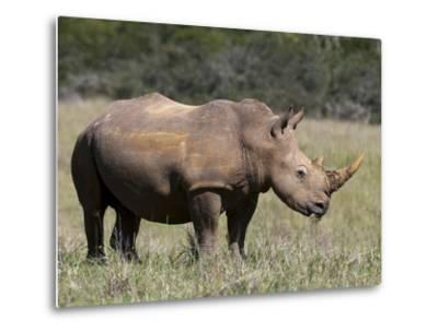 White Rhinoceros (Caratotherium Simum), Kariega Game Reserve, South Africa, Africa-Sergio Pitamitz-Metal Print
