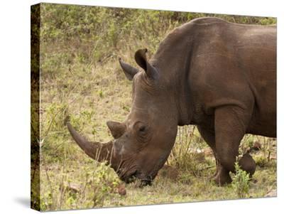 White Rhinoceros (Cerototherium Simium), Masai Mara, Kenya, East Africa, Africa-Sergio Pitamitz-Stretched Canvas Print