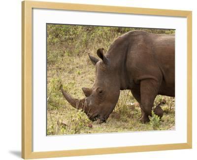 White Rhinoceros (Cerototherium Simium), Masai Mara, Kenya, East Africa, Africa-Sergio Pitamitz-Framed Photographic Print