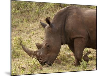 White Rhinoceros (Cerototherium Simium), Masai Mara, Kenya, East Africa, Africa-Sergio Pitamitz-Mounted Photographic Print
