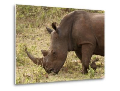 White Rhinoceros (Cerototherium Simium), Masai Mara, Kenya, East Africa, Africa-Sergio Pitamitz-Metal Print