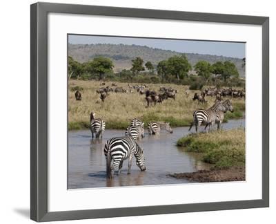 Zebra (Equus Quagga), Masai Mara, Kenya, East Africa, Africa-Sergio Pitamitz-Framed Photographic Print
