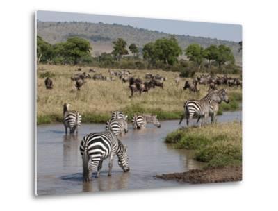 Zebra (Equus Quagga), Masai Mara, Kenya, East Africa, Africa-Sergio Pitamitz-Metal Print