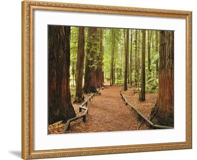 Walkway, the Redwoods, Rotorua, Bay of Plenty, North Island, New Zealand, Pacific-Jochen Schlenker-Framed Photographic Print