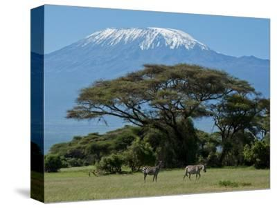 Zebra, Amboseli National Park, With Mount Kilimanjaro in the Background, Kenya, East Africa, Africa-Charles Bowman-Stretched Canvas Print