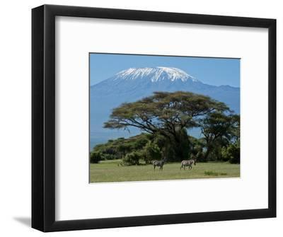 Zebra, Amboseli National Park, With Mount Kilimanjaro in the Background, Kenya, East Africa, Africa-Charles Bowman-Framed Photographic Print