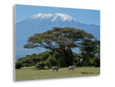 Zebra, Amboseli National Park, With Mount Kilimanjaro in the Background, Kenya, East Africa, Africa-Charles Bowman-Metal Print