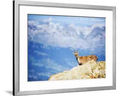 Ibex (Capra Ibex), on Lower Slopes of Mont Blanc, Chamonix, French Alps, France, Europe-Christian Kober-Framed Photographic Print