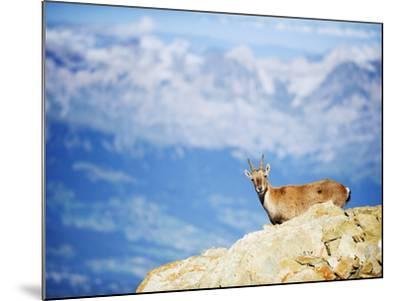 Ibex (Capra Ibex), on Lower Slopes of Mont Blanc, Chamonix, French Alps, France, Europe-Christian Kober-Mounted Photographic Print