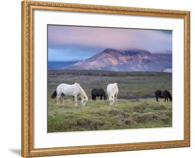 Icelandic Horses, Near Stykkisholmur, Snaefellsness Peninsula, West Iceland, Iceland, Polar Regions-Patrick Dieudonne-Framed Photographic Print