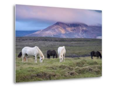 Icelandic Horses, Near Stykkisholmur, Snaefellsness Peninsula, West Iceland, Iceland, Polar Regions-Patrick Dieudonne-Metal Print
