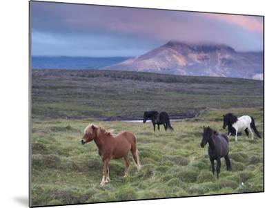 Icelandic Horses, Near Stykkisholmur, Snaefellsness Peninsula, West Iceland, Iceland, Polar Regions-Patrick Dieudonne-Mounted Photographic Print