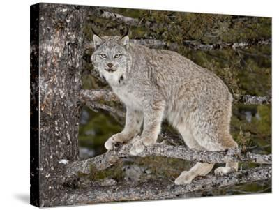 Canadian Lynx (Lynx Canadensis) in a Tree, in Captivity, Near Bozeman, Montana, USA-James Hager-Stretched Canvas Print