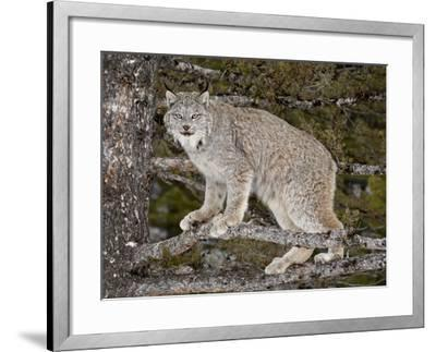 Canadian Lynx (Lynx Canadensis) in a Tree, in Captivity, Near Bozeman, Montana, USA-James Hager-Framed Photographic Print
