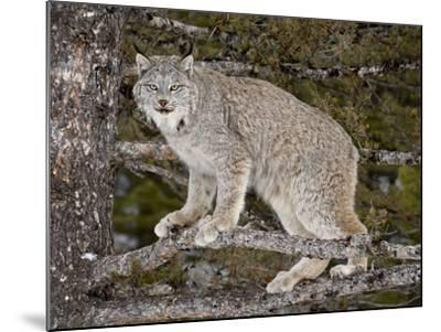 Canadian Lynx (Lynx Canadensis) in a Tree, in Captivity, Near Bozeman, Montana, USA-James Hager-Mounted Photographic Print