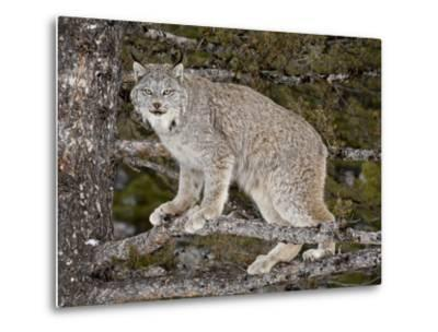 Canadian Lynx (Lynx Canadensis) in a Tree, in Captivity, Near Bozeman, Montana, USA-James Hager-Metal Print