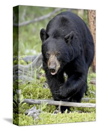 Black Bear (Ursus Americanus), Jasper National Park, Alberta, Canada, North America-James Hager-Stretched Canvas Print