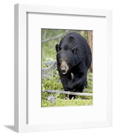 Black Bear (Ursus Americanus), Jasper National Park, Alberta, Canada, North America-James Hager-Framed Photographic Print