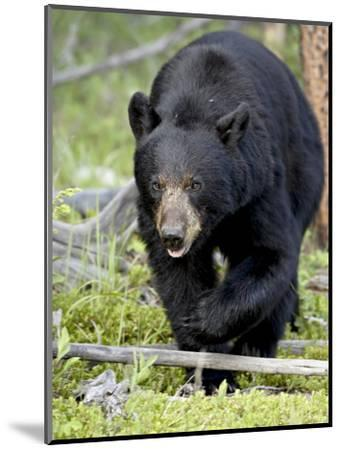 Black Bear (Ursus Americanus), Jasper National Park, Alberta, Canada, North America-James Hager-Mounted Photographic Print