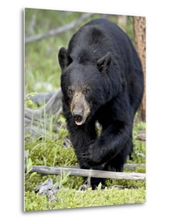 Black Bear (Ursus Americanus), Jasper National Park, Alberta, Canada, North America-James Hager-Metal Print