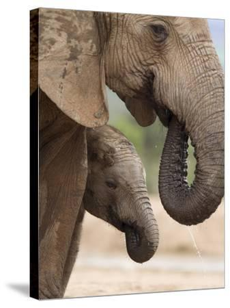 Elephant (Loxodonta Africana) and Baby, Addo Elephant National Park, Eastern Cape, South Africa-Ann & Steve Toon-Stretched Canvas Print