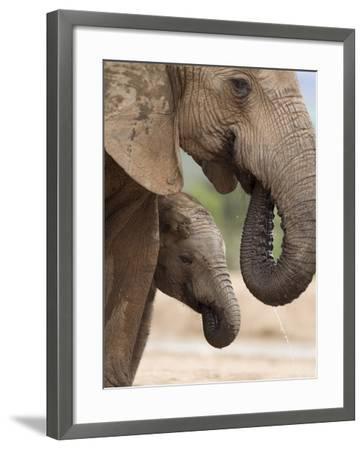 Elephant (Loxodonta Africana) and Baby, Addo Elephant National Park, Eastern Cape, South Africa-Ann & Steve Toon-Framed Photographic Print