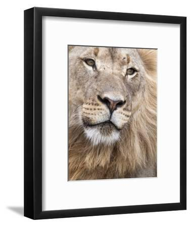 Male Lion (Panthera Leo), Addo National Park, Eastern Cape, South Africa, Africa-Ann & Steve Toon-Framed Photographic Print
