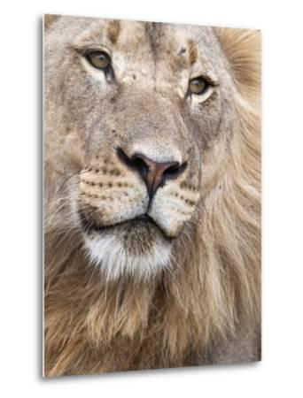 Male Lion (Panthera Leo), Addo National Park, Eastern Cape, South Africa, Africa-Ann & Steve Toon-Metal Print