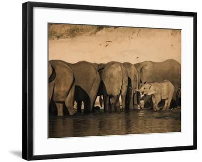 Elephants (Loxodonta Africana) in Chobe River, Botswana, Africa-Kim Walker-Framed Photographic Print