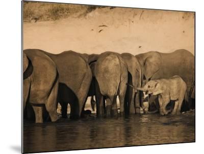 Elephants (Loxodonta Africana) in Chobe River, Botswana, Africa-Kim Walker-Mounted Photographic Print