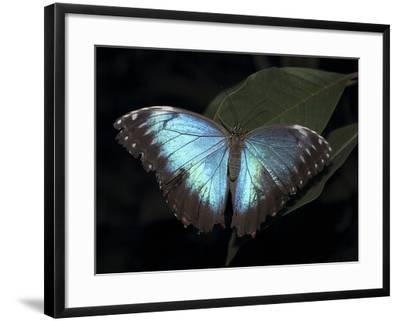 Blue Morpho Butterfly (Morpho Peleide)-Raj Kamal-Framed Photographic Print