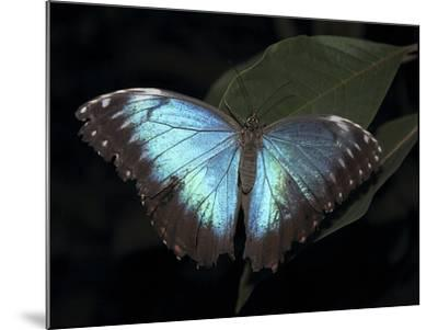 Blue Morpho Butterfly (Morpho Peleide)-Raj Kamal-Mounted Photographic Print