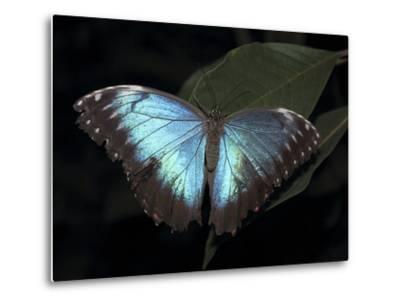 Blue Morpho Butterfly (Morpho Peleide)-Raj Kamal-Metal Print